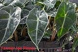 """ALOCASIA - Dwarf AMAZONICA - Dwarf Elephant Ear - 1 Live Plant - 4"""" Pot"""