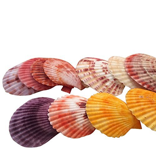 Julie Wang 40PCs Natural Real Sea Shell Beach Shells Pecten Scallop Conch Mixed Color and Ramdon Size - Shell Color Scallop