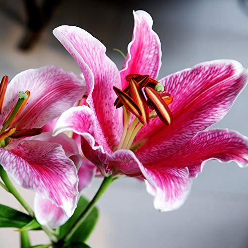 4Pcs Lily Bulb Bonsai Rare Perennial Fragrant Plants Not Seeds Rainbow Flower Flower Bulbs DIY Home Garden (Pink)