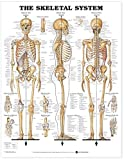 The Skeletal System Anatomical Chart