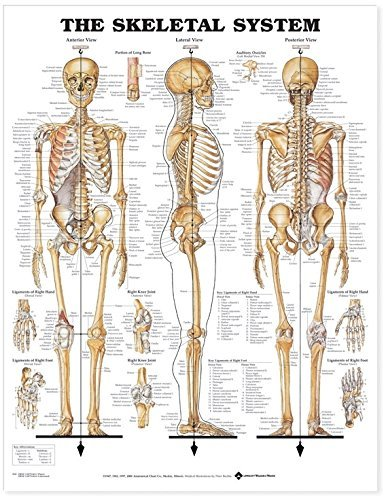 The Skeletal System Anatomical Chart - Skeletal System Poster