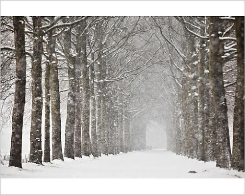 Photographic Print of Netherlands, Beech trees in snow - Blizzard Beech
