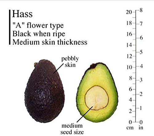 Hass Avocado Tree, Grafted - Live Avocado Tree by Unknown (Image #5)