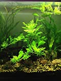 3 Water Wisteria (Hygrophila Difformis), Live Aquarium/Aquatic/Stem Plant by G&Z