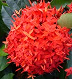 Live Ixora Plant Tropical Super Size Clusters of Brilliant Red Flowers Super King