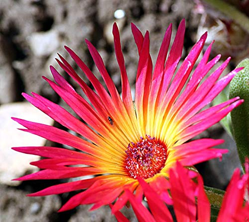 1 Packet of 10 Seeds Buck Bay vygie, Livingstone Daisy, Ice Plant - Dorotheanthus Bellidiformis - Caryophyllales ()