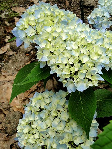 (Home Comforts Canvas Print Endless Summer Buds Flowers Hydrangeas Blooming Vivid Imagery Stretched Canvas 10 x 14)