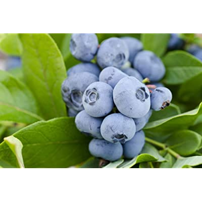 (1 Gallon) Vernon Blueberry Shrub - Large, flavorful Berries with Full Color and Excellent Firmness. Early Season, Good yields and Excellent Vigor. : Garden & Outdoor