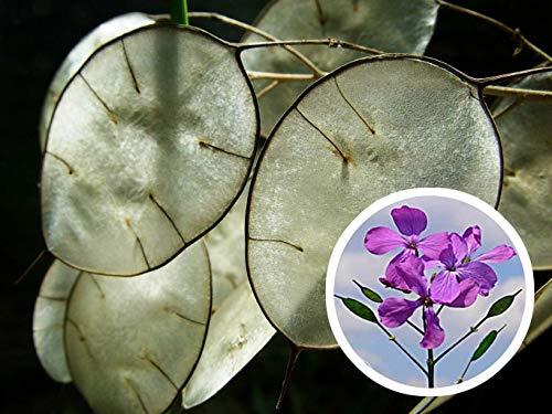 Silver Dollar Lunaria Biennis 50 Seeds Money Plant Showy CombSH J14#GRS00023 (Lunaria Silver Dollar)