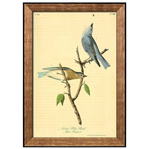 wall26 - Beautiful Illustration Inside of an Elegant Frame of a Artic Blue Bird by John James Audubon - Framed Art Prints, Home Decor - 24x36 ()