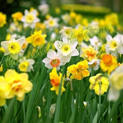 NEU 100 X MIXED  NARCISSUS SEEDS GARDEN  AUTUMN GROWING SPRING FLOWERING~