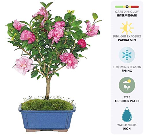 Brussel's Live Camellia Hot Flash Outdoor Bonsai Tree - 10