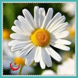 Plentree Seeds Package: Shasta Daisy 'Real Glory',Leucanthemum, 50 Seeds Chrysanthemum