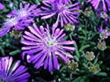 50+ Purple Ice Plant Delosperma Cooperii/Perennial Flower Seeds