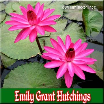 Emily Grant Hutchings Tropical Night Blooming Water Lily (Annual) by William Tricker Inc.