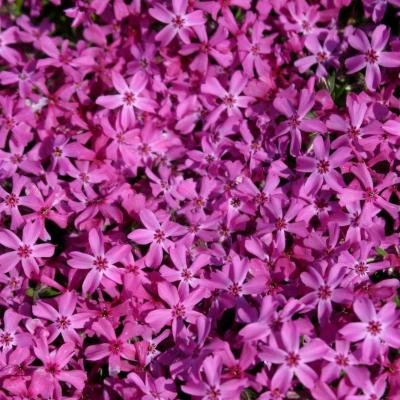 Classy Groundcovers - Phlox subulata 'Red Wings' (Phlox 'Red Wings', Creeping Phlox, Moss Phlox) {24 Pots - 3 1/2 in.}