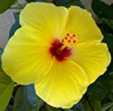 Diamond Perennials Tropical Hibiscus Golden Yellow Red Throat Potted Plant
