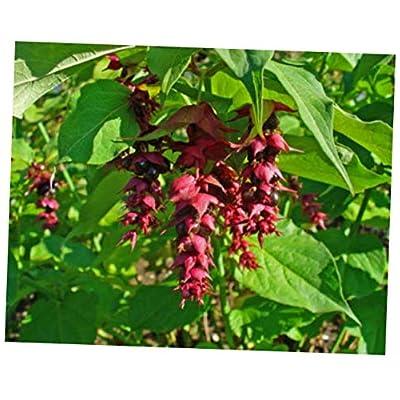 CJI 5 Seeds Leycesteria Formosa Unique Shrub - RK37 : Garden & Outdoor