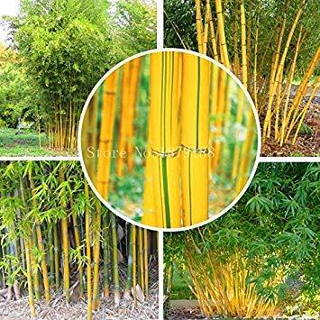Fargesia fungosa bamboo seeds hardy clumping type garden decoration plant 50pcs bonsai plant home garden