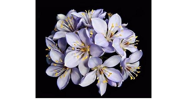 Exotic hard wood rare seed 25 seeds Holywood lignum vitae Guaiacum sanctum
