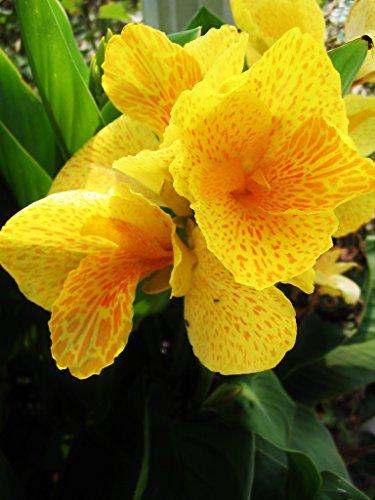 2 Dwarf Canna Lily - Tropical Sunrise - Bulbs/Roots/Rhizomes/Tubers/Plants