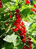 Red Currant - 'Red Lake' - Ribes rubrum