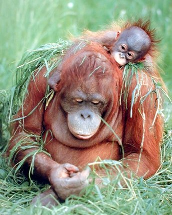 Orangutan and Baby Wildlife Animal Nature Wall Decor Art Print Poster (16x20)