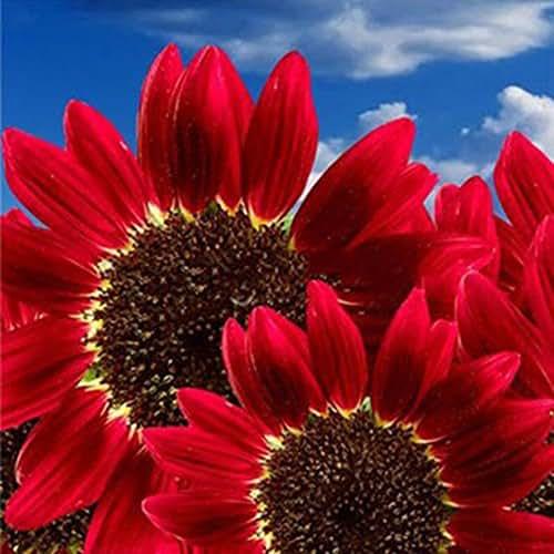 Narutosak Sunflower Seeds, 15 Pcs/30 Pcs Red Sunflower Rare Flower Seeds Annual Decor Organic Helianthus - 30pcs