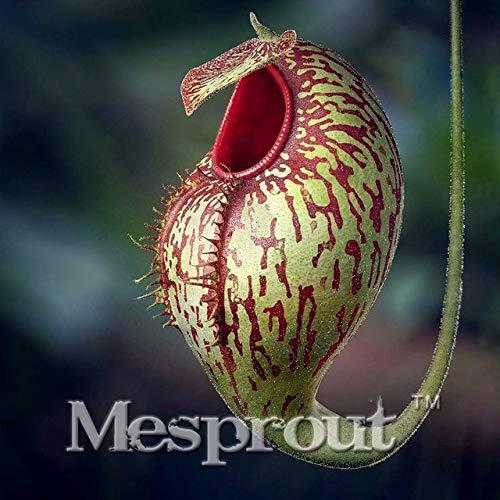AGROBITS Vente chaude Plantes insectivores Pitcher 50PCS pourpre plante BONSAI fleur bricolage jardin maison: 1