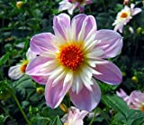 Teesbrooke Audrey Anemone Flowering Dahlia - #1 Size Root Clump - Pale Pink / White