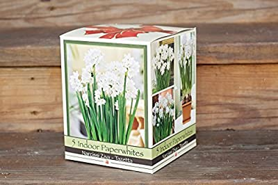 Quaint Paperwhite Holiday Gift Growing Kit, Includes 5 Paperwhite Bulbs, a plastic pot and saucer, and Professional Growing Medium