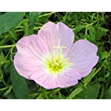 1000 SHOWY PINK EVENING PRIMROSE (Pink Ladies / Mexican Evening) Oenothera Speciosa Flower Seeds