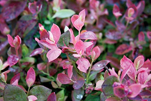 Bushel and Berry - Vaccinium Pink Icing (Blueberry) Edible-Shrub, , #2 - Size Container by Green Promise Farms (Image #3)