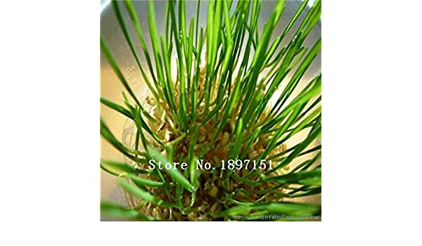 ASTONISH SEEDS: Semillas amarillas: Venta grande follaje de ...