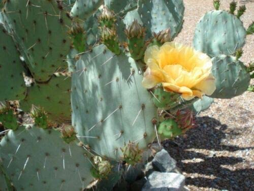 Everyday Yolo: Green Prickly PEAR Cactus PAD — Live Plant
