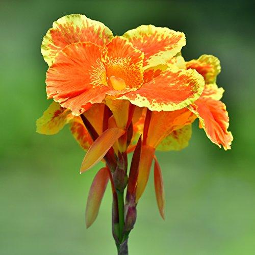 Orange Canna Pretoria - Bengal Tiger Canna - 2-3 Eye Rhizome - 3 Large Bulbs - Gorgeous Blooms | Ships from Easy to Grow -