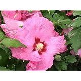 """-Bulk- ROSE OF SHARON-Pink Satin """"Hibiscus syriacus""""  350+Perennial seeds"""