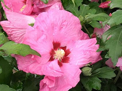 Amazoncom Bulk Rose Of Sharon Pink Satin Hibiscus Syriacus