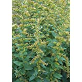 Rough Goldenrod (Solidago rugosa), 620 Certified Pure Live Seed, True Native Seed