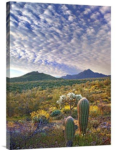 (Global Gallery Budget GCS-395936-30-142 Tim Fitzharris Saguaro and Teddybear Cholla Amid Flowering Lupine and California Brittlebush Gallery Wrap Giclee on Canvas Wall Art Print)