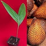 ANVIN Germination Seeds:Salak Pondoh Salacca Zalacca Snake Brown Fruit Palm Seed Starter Seeds