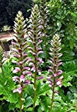 Acanthus mollis - Bears Breeches/Oyster Plant 5 Seeds - Perennial
