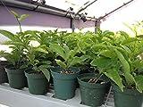 "Passion Fruit Vine - Purple Passiflora Edulis LIVE PLANT - 8-12"" tall"