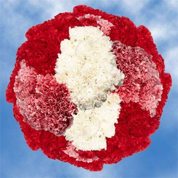 GlobalRose 350 Fresh Cut Christmas Carnations - Fresh Flowers Wholesale Express Delivery - Perfect for Christmas Holidays. by GlobalRose (Image #4)