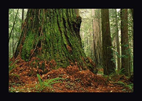 Coast Redwood Old-Growth Tree in Forest, Pacific Coast, North America by Gerry Ellis - 24