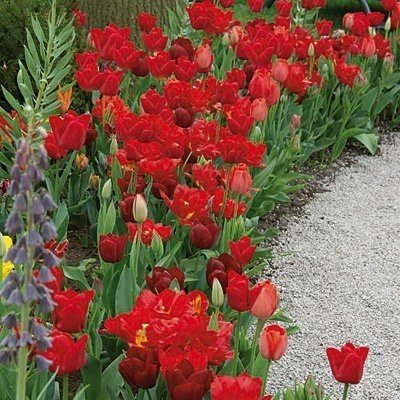 SILKSART Endless Spring Red Blend Tulip Mixture-- 50 Nice, Fat Bulbs! Value Pack! (Double Parrot Tulip)