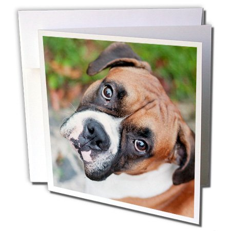 3dRose Greeting Cards, 6 x 6 Inches, Pack of 6, Cute Boxer Dog Portrait Canine (gc_155019_1) (Boxer Dog Greeting Cards)