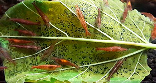 10-Gram Aquarium Food for Live Invertebrate Cherry Shrimp 100% Organic No Pesticides.