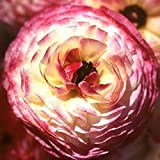 Tecolote Ranunculus Picotee Merlot - Persian Buttercup Bulbs - 10 XL Bulbs - 8 cm- Ships and Grown from USA