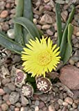 Glottiphyllum Sb650 Lemoenshoek Living Stone Mesembs Seed 100 Seeds ecc03
